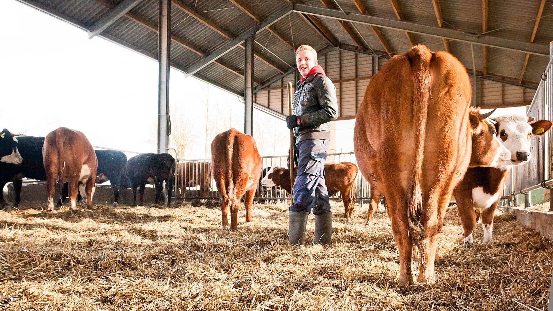 stal-koeien